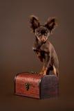Terrier di giocattolo russo Immagini Stock Libere da Diritti