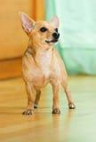 Terrier di giocattolo russo Fotografia Stock Libera da Diritti