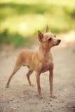 Terrier di giocattolo russo Fotografie Stock Libere da Diritti