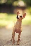 Terrier di giocattolo russo Fotografie Stock