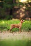 Terrier di giocattolo russo Fotografia Stock