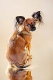 Terrier di giocattolo russo dei cuccioli Immagine Stock Libera da Diritti