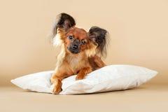 Terrier di giocattolo russo dei cuccioli Immagini Stock Libere da Diritti