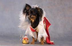 Terrier di giocattolo russo nel sutt dei tsar Fotografia Stock Libera da Diritti