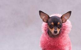 Terrier di giocattolo russo in vestiti Fotografie Stock
