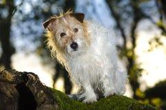 Terrier di Jack Russel Immagini Stock Libere da Diritti
