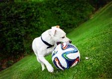 Terrier di Jack Russel che gioca con la palla nel giardino Fotografia Stock