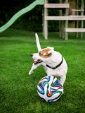 Terrier di Jack Russel che gioca con la palla nel giardino Immagini Stock Libere da Diritti