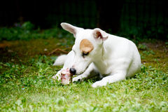 Terrier di Jack Russel sulla caccia fotografia stock