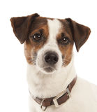 Terrier di Jack Russell Immagine Stock