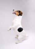 Terrier di Jack Russell Fotografie Stock Libere da Diritti