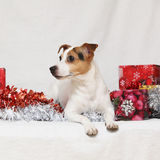 Terrier di Jack Russell di Natale con i regali Fotografia Stock