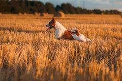 Terrier di Jack Russell in un campo al tramonto immagine stock libera da diritti