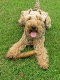 Terrier di lingua gallese Fotografia Stock Libera da Diritti