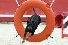 Terrier di Manchester nell'agilità Fotografie Stock