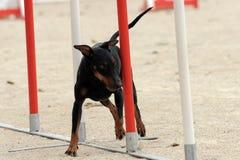 Terrier di Manchester nell'agilità Fotografie Stock Libere da Diritti