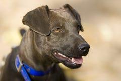 Terrier di Patterdale Fotografia Stock Libera da Diritti