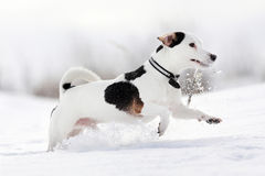 Terrier di Russel della presa del cane Fotografia Stock