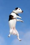 Terrier di Russel della presa del cane fotografie stock