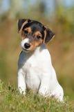 Terrier di Russel della presa del cane immagini stock libere da diritti