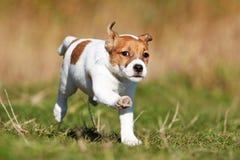 Terrier di Russel della presa del cane immagine stock libera da diritti