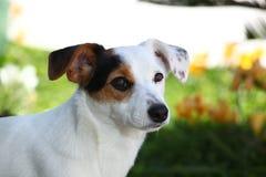 Terrier di Russel della presa del cucciolo Immagine Stock