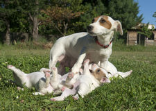 Terrier di Russel della presa della famiglia Fotografia Stock Libera da Diritti