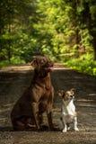 Terrier di Russel della presa di due cani Immagine Stock Libera da Diritti