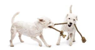 Terrier di Russell del pastore che giocano con una corda Fotografie Stock