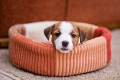 Terrier di russell della presa del cucciolo Immagine Stock Libera da Diritti