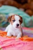 Terrier di russell della presa del cucciolo Immagini Stock Libere da Diritti