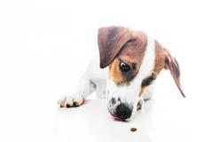 Terrier di russell della presa del cucciolo Fotografia Stock Libera da Diritti