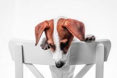 Terrier di russell della presa del cucciolo Fotografie Stock