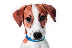 Terrier di russell della presa del cucciolo Fotografia Stock