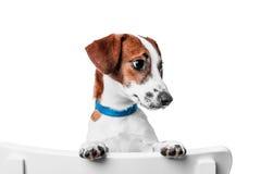 Terrier di russell della presa del cucciolo Immagine Stock