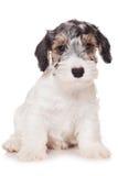 Terrier di Sealyham fotografie stock libere da diritti