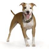 Terrier di Staffordshire americano Fotografie Stock