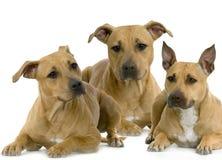 Terrier di Staffordshire americano fotografia stock libera da diritti