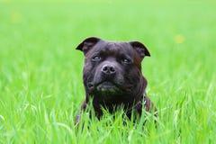 Terrier di Staffordshire americano fotografia stock