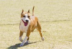 Terrier di Staffordshire americano Immagine Stock Libera da Diritti