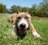 Terrier di Staffordshire americano Immagine Stock