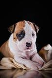 Terrier di Staffordshire americano del cucciolo Fotografia Stock