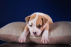 Terrier di Staffordshire americano del cucciolo Fotografie Stock Libere da Diritti