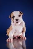 Terrier di Staffordshire americano del cucciolo Fotografia Stock Libera da Diritti