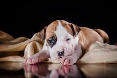Terrier di Staffordshire americano del cucciolo Immagini Stock