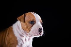 Terrier di Staffordshire americano del cucciolo Fotografie Stock