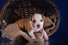 Terrier di Staffordshire americano del cucciolo Immagini Stock Libere da Diritti