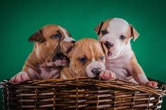 Terrier di Staffordshire americano del cucciolo Immagine Stock