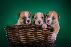 Terrier di Staffordshire americano del cucciolo Immagine Stock Libera da Diritti