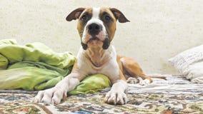 Terrier di Staffordshire nella posa della sfinge immagini stock libere da diritti